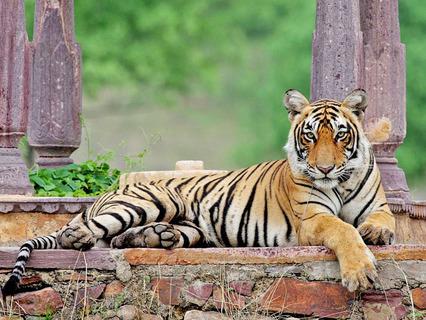 Мачли – королева тигров