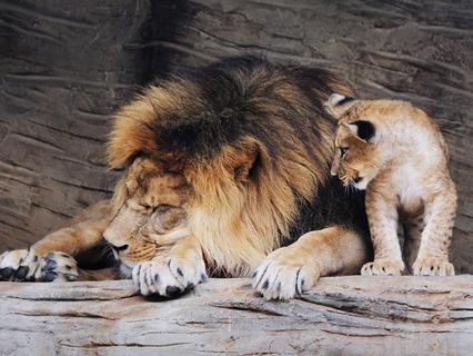 Берберийские львы