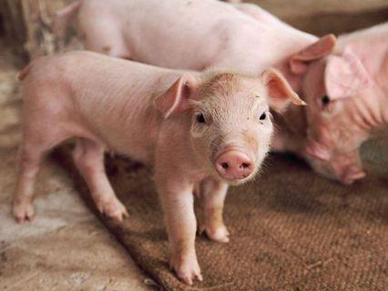 """Без обмана. Анонс. """"Подложить свинью"""""""