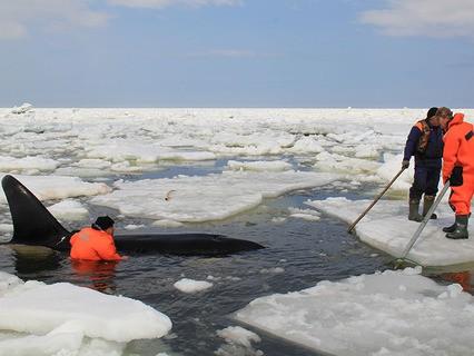 Спасение косаток в Охотском море