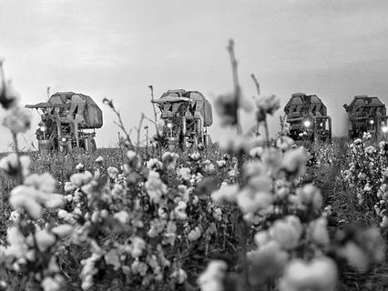 Комбайны собирают хлопок на полях Ферганской долины