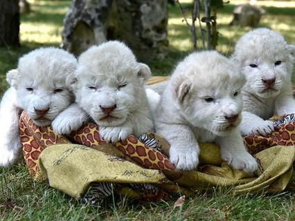 """Четыре белых львёнка, родившиеся в крымском сафари-парке """"Тайган"""""""