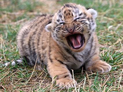 """Амурский тигрёнок в сафари-парке """"Тайган"""""""