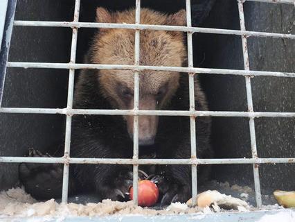 Два бурых медведя ждут отправки в Липецкий зоопарк