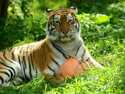 """Наши любимые животные. """"Тигры и весёлые игры"""""""