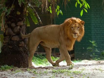 """Наши любимые животные. """"Львиная доля: царь зверей на службе у людей"""""""