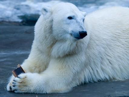 """Наши любимые животные. """"Правила этикета среди северных полярных медведей"""""""