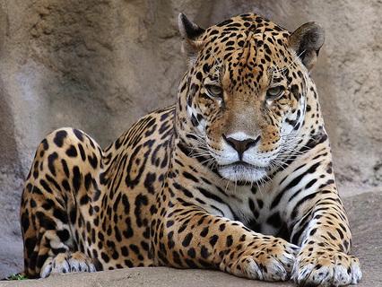 Как вырастить леопарда