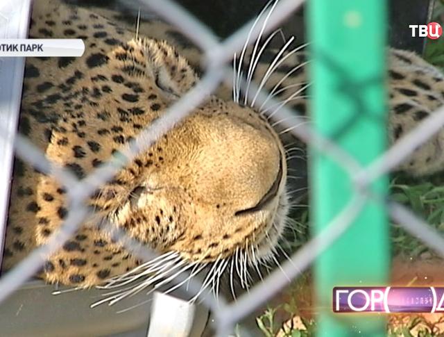 Цирковой леопард