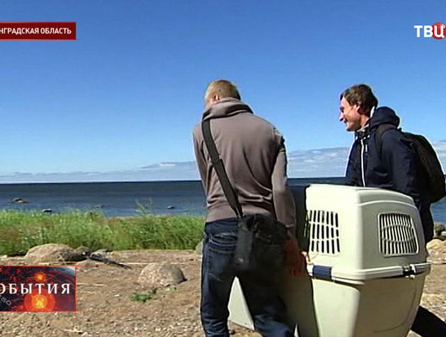 В Ленинградской области выпускают на волю детёнышей тюленя