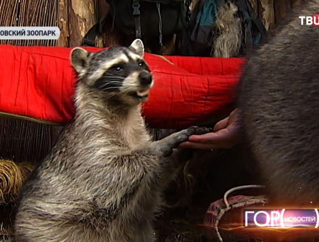 Енот в Московском зоопарке
