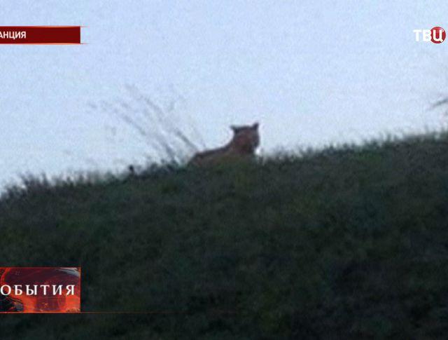 Тигр во Франции