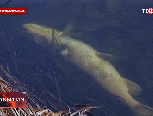 Мор рыбы в Нижегородской области