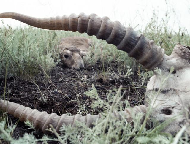 Сайгак лежит в траве неподалеку от останков другого сайгака