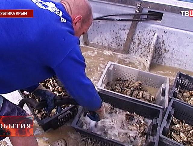 Устричная ферма в Крыму