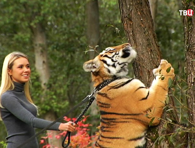 Мисс Мира просит Владимира Путина помочь тигру по имени Мир