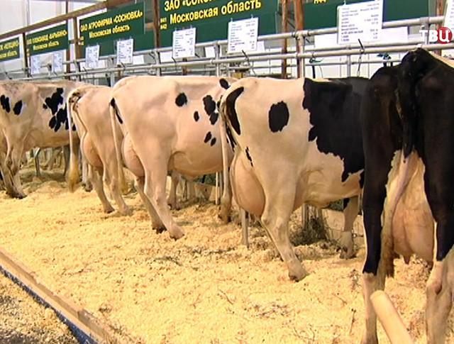 Коровы на агровыставке