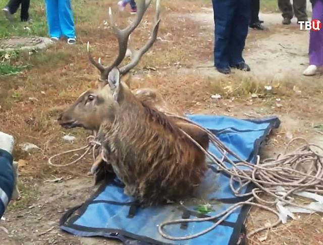 Пойманный олень