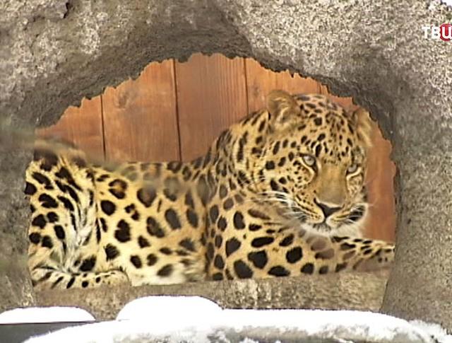 Леопард в Московском зоопарке