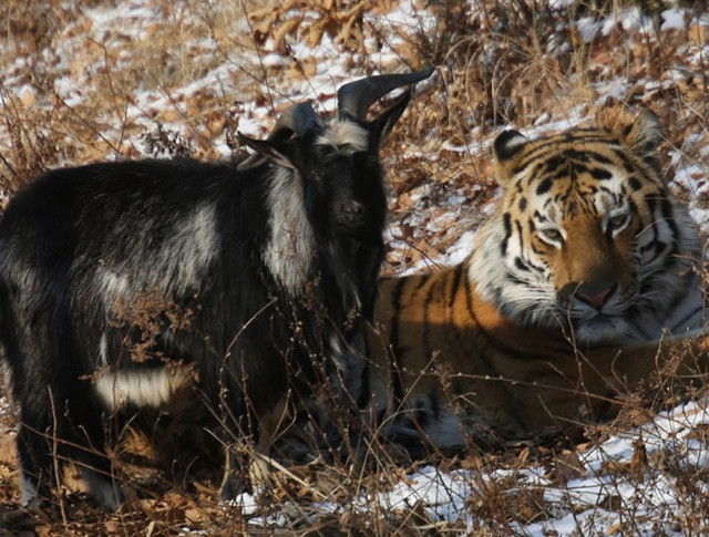 Коза и тигр в Приморском сафари-парк