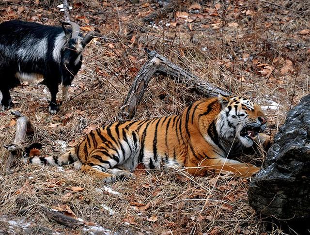 Уссурийский тигр по кличке Амур и козел по кличке Тимур
