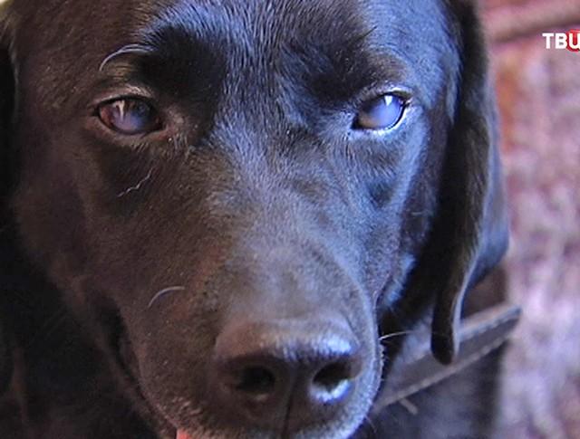 Слепая собака-поводырь