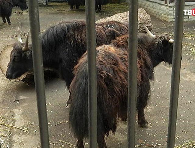 Тибетские яки в Московском зоопарке