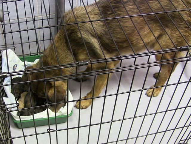 Собака-роженица из метро и ее десять щенков в приюте