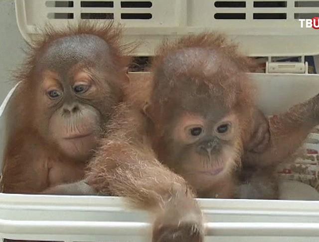 Детеныши орангутанов