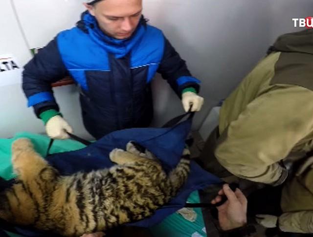 Ветеринары спасают раненого амурского тигренка
