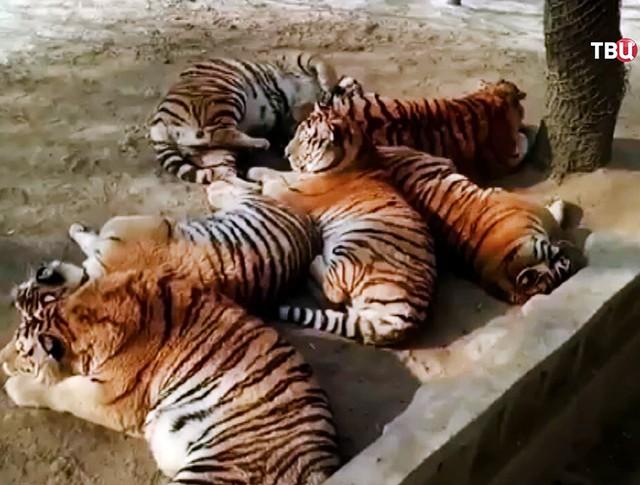 Толстые тигры в китайском зоопарке