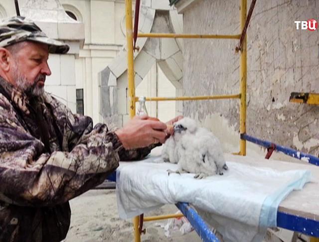 Орнитологи кормят птенцов соколов-сапсанов