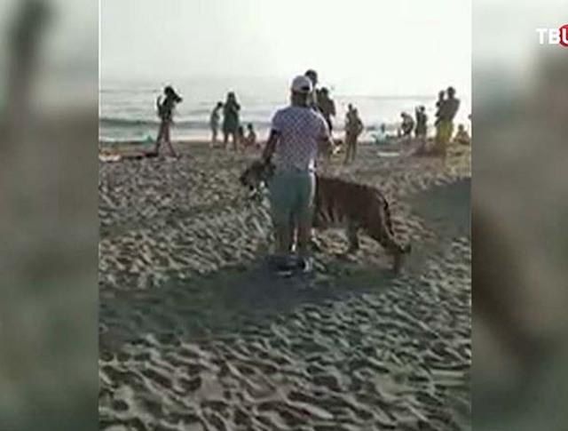 Амурский тигр на пляже
