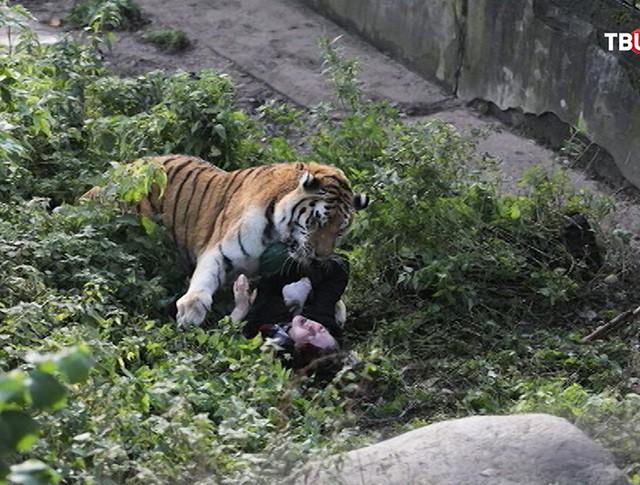 Нападение тигра на человека