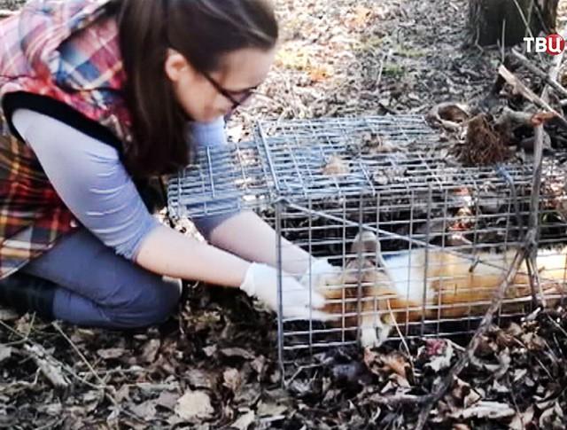 Ветеринар достает лису из ловушки
