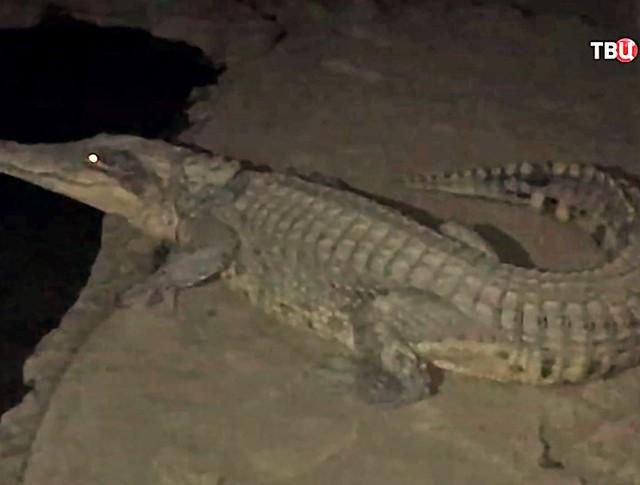 Крокодил в подвале дома
