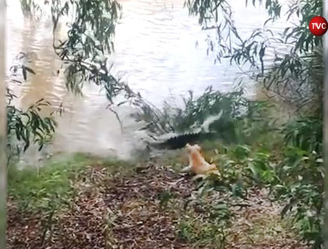 Собака прогнала крокодила