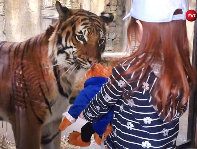 Тигр пытается забрать игрушку у девочки в зоопарке в США
