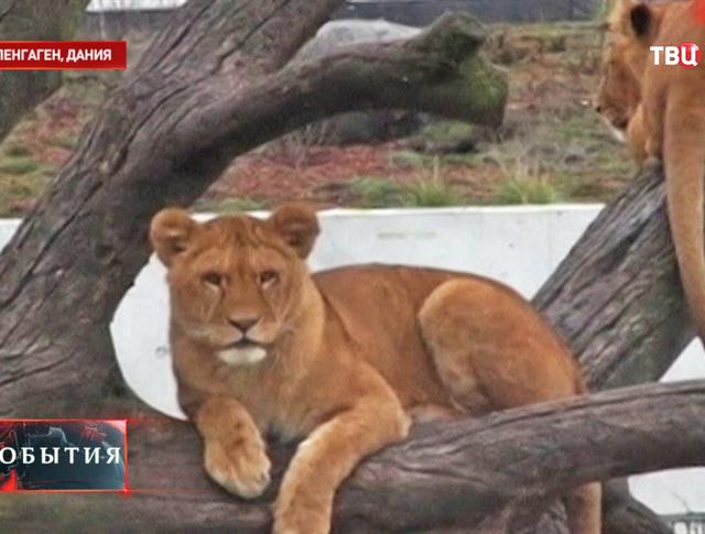 Львы в зоопарке Копенгагена