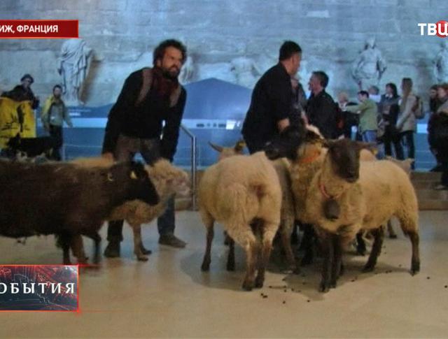 Овцы в парижском Лувре