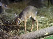 Детёныш миниатюрной африканской антилопы дикдики
