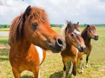 """Наши любимые животные. """"Пони – это звучит гордо!"""""""