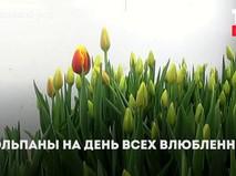 Раздача тюльпанов