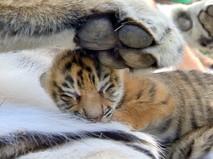 Новорожденный амурский тигренок
