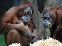 Семья орангутанов с детёнышем