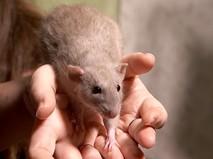 Домашняя крыса