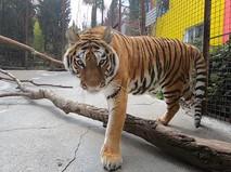Тигр в вольере