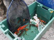 Вылов рыбы из прудов для отправки на зимовку