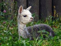 Детеныш альпака по имени Витамин родился в Московском зоопарке