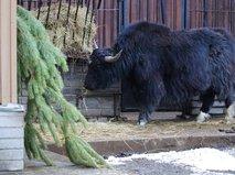 Кормление животных Московского зоопарка нераспроданными новогодними елями